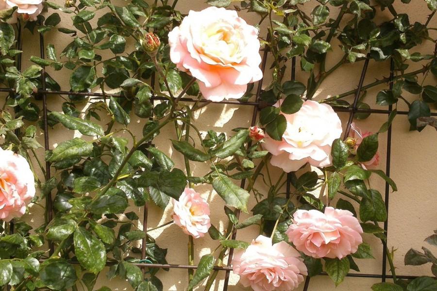 Po róże do szkółki